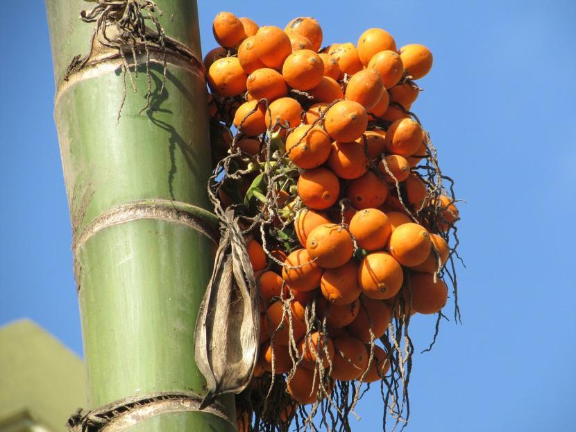 Frutos de Areca catechu