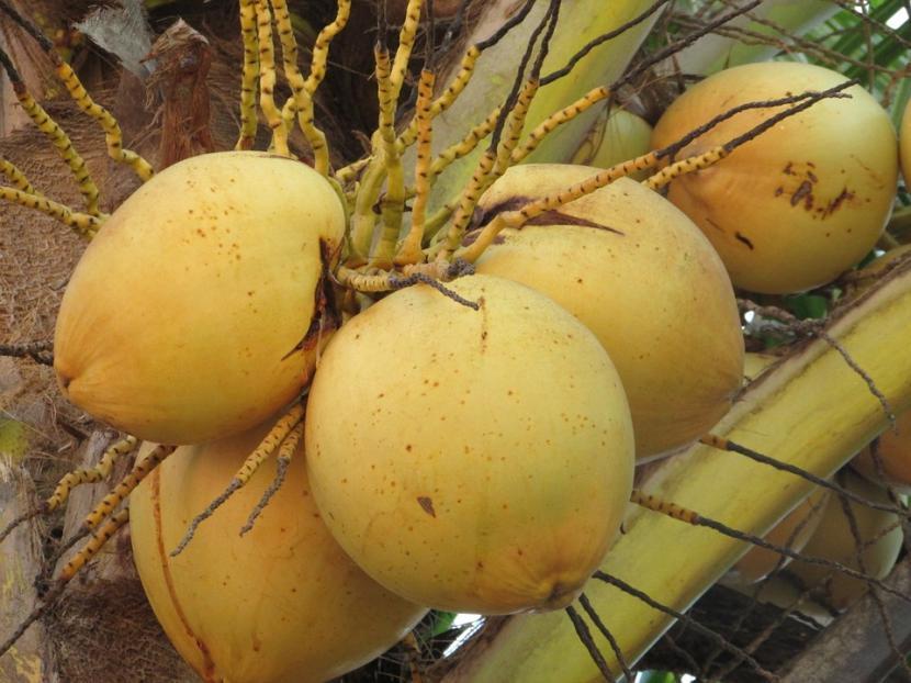 Frutos del cocotero