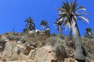 Juabea chilensis en hábitat