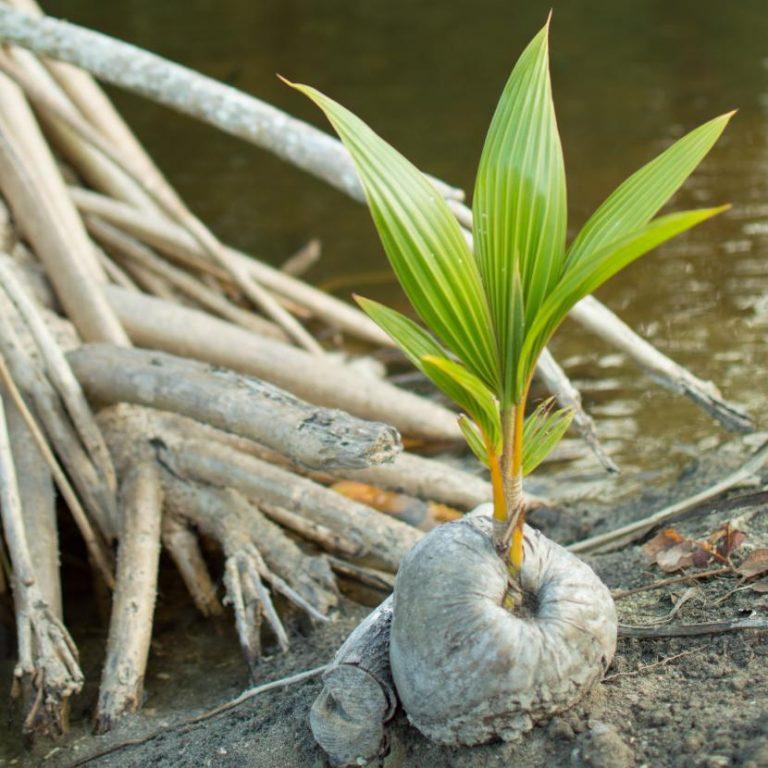 Cocos nucifera o cocotero