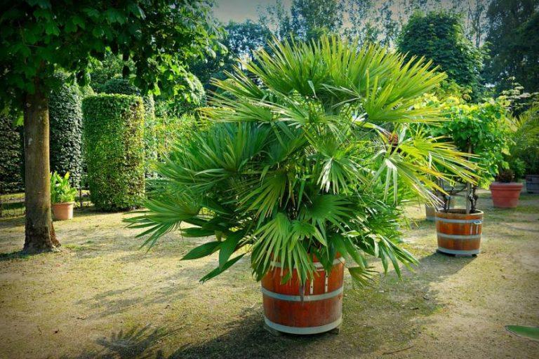 ¿Cuándo trasplantar palmeras?