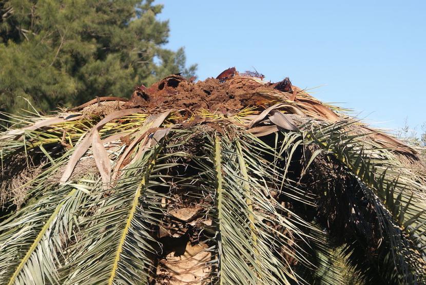 Palmera canaria muerta por picudo rojo