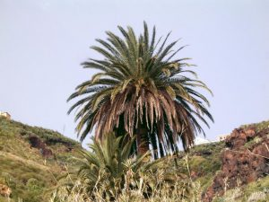 Phoenix canariensis o palmera canaria