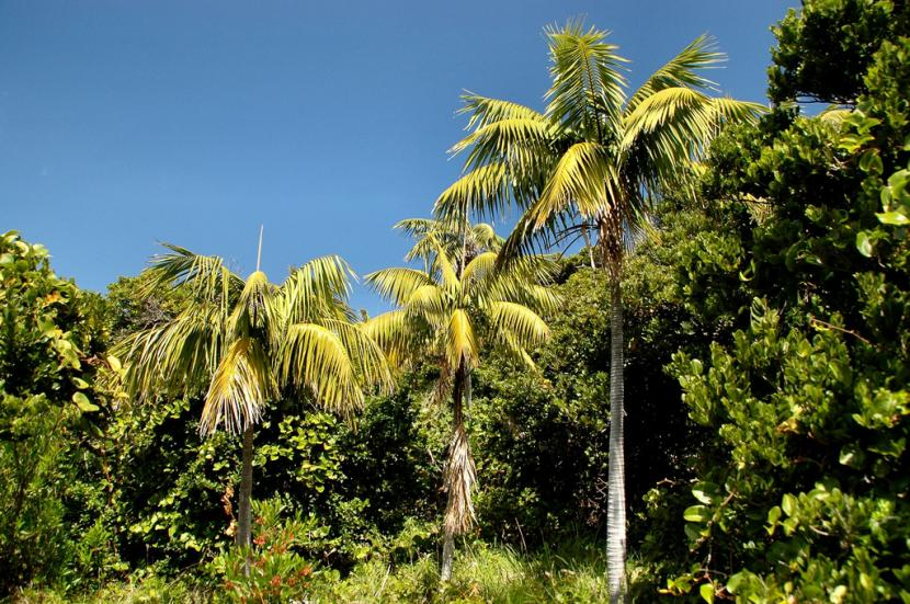 Bosque de Howea forsteriana