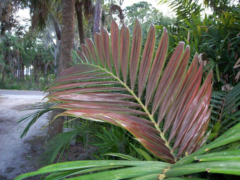 Hoja de Chambeyronia macrocarpa