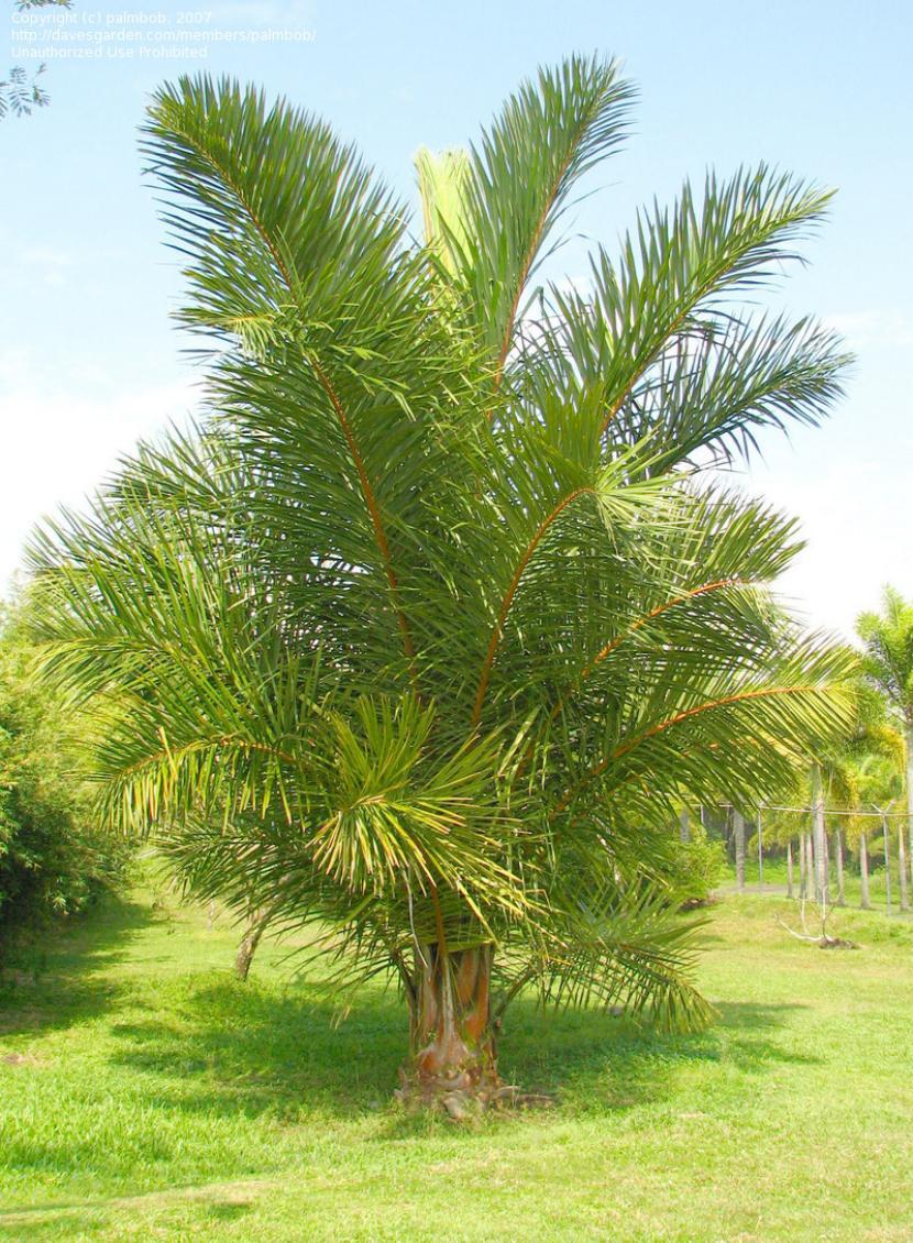 Palmera Raphia farinifera
