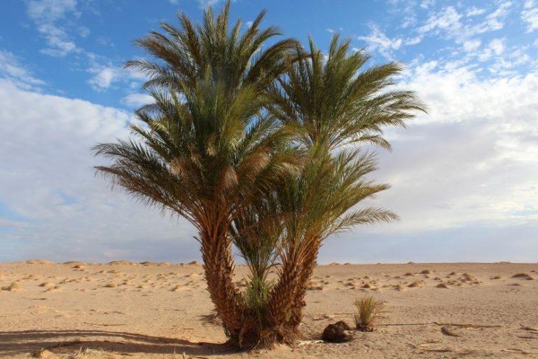 ¿Qué son las palmeras multicaules?