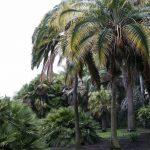 Phoenix rupicola, una palmera preciosa
