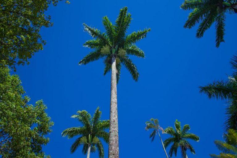 ¿Cuáles son las diferencias entre palmeras y árboles?