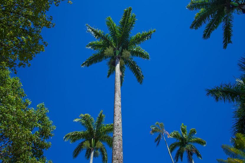 Roystonea oleracea