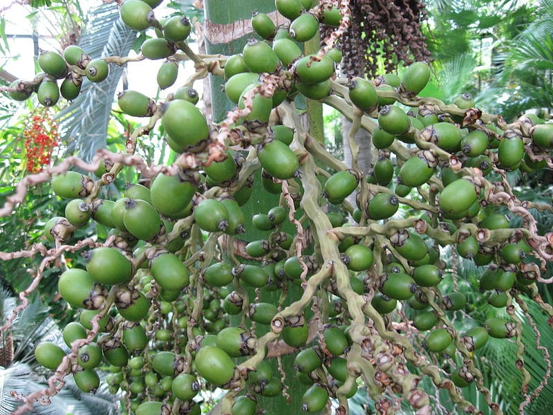 Semillas de Chambeyronia macrocarpa