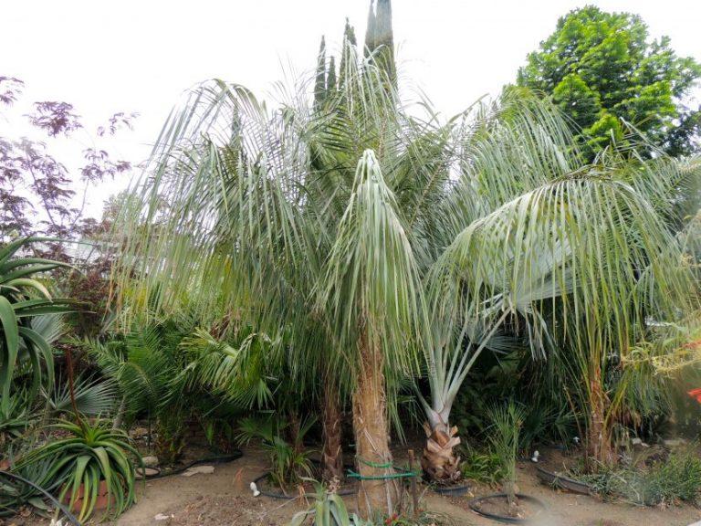 Ficha de la Parajubaea sunkha