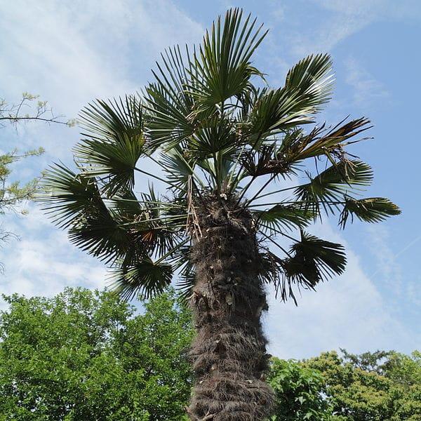 Ficha del Trachycarpus fortunei o Palmera excelsa