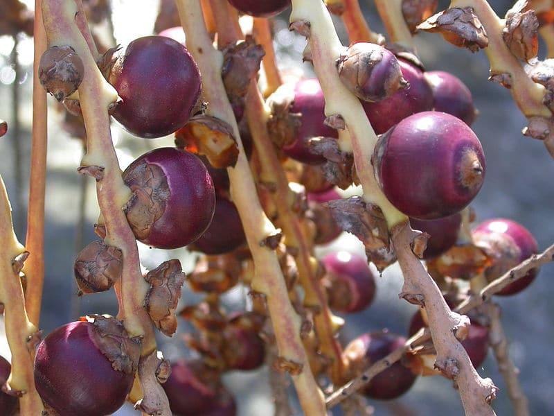 Frutos de Beccariophoenix alfredii