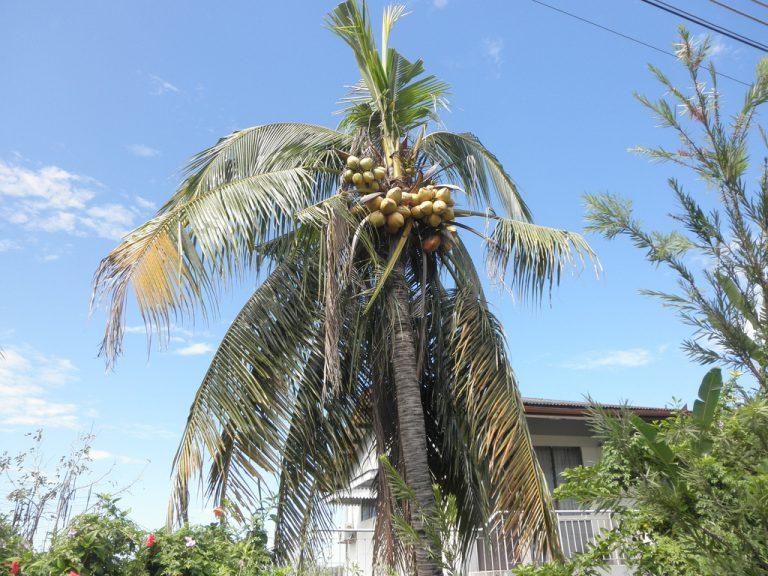 ¿Cómo detectar y combatir el amarillamiento letal de las palmeras?