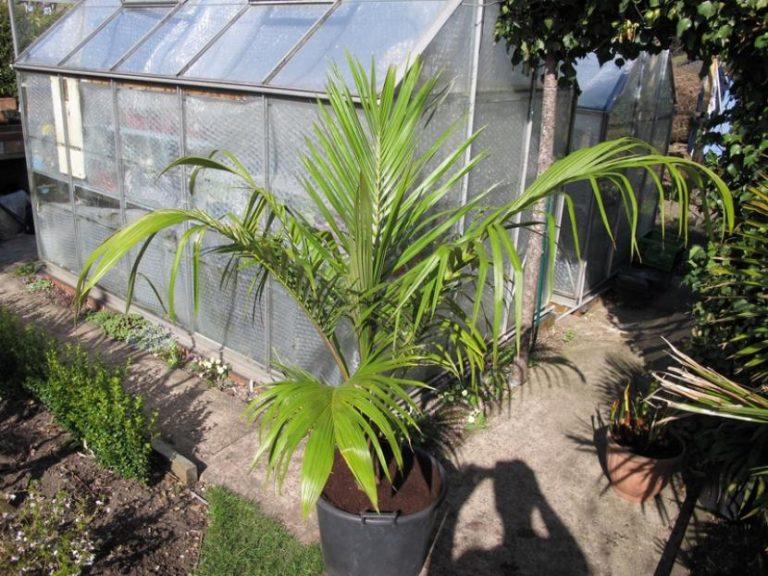 Ficha de la Juania australis