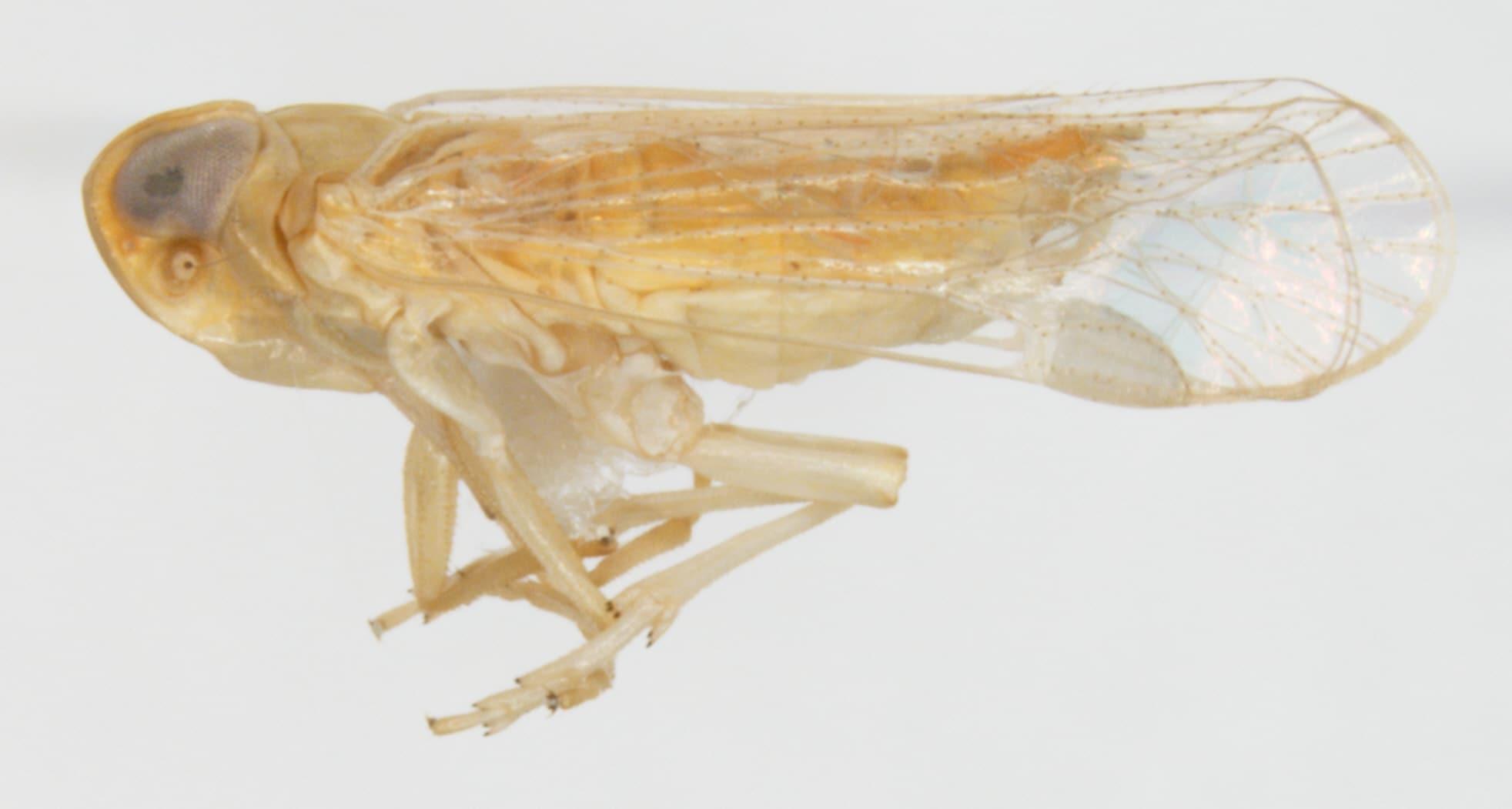 Myndus crudus