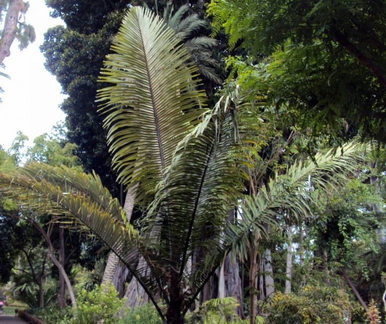 Ficha de la Arenga pinnata