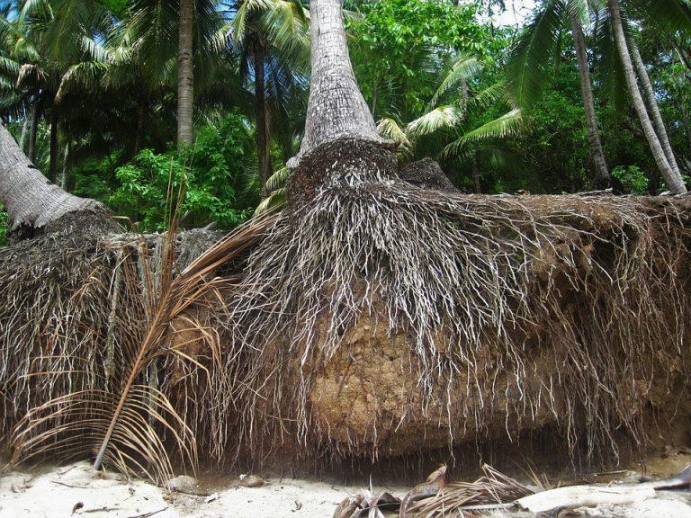 ¿Cómo son las raíces de las palmeras?