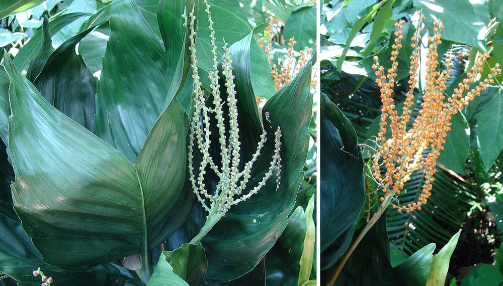 Flores de la Chamaedorea metallica