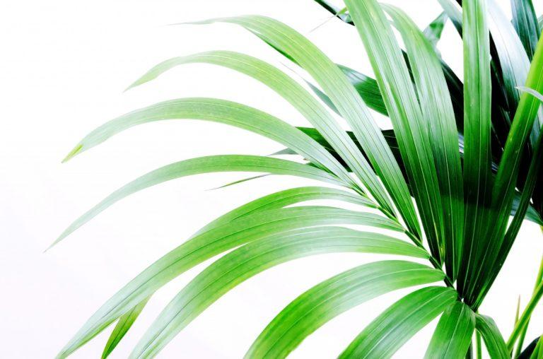 ¿Cómo cuidar las palmeras en maceta durante el verano?