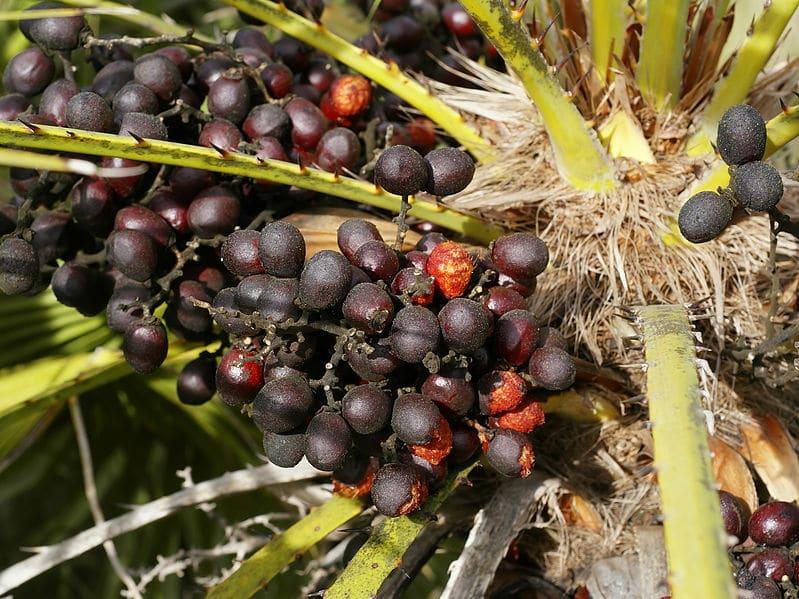 Frutos del Chamaerops humilis