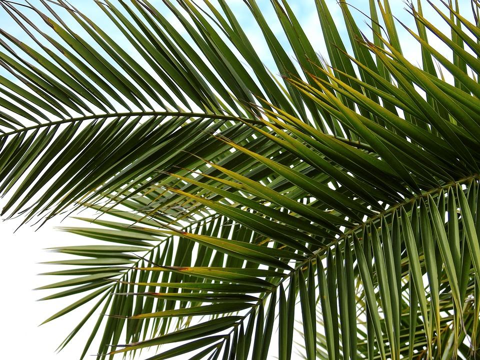 Hojas de palmera Phoenix