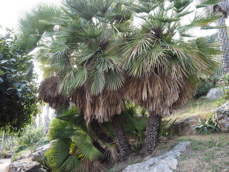 ¿Las palmeras son de sol o sombra?