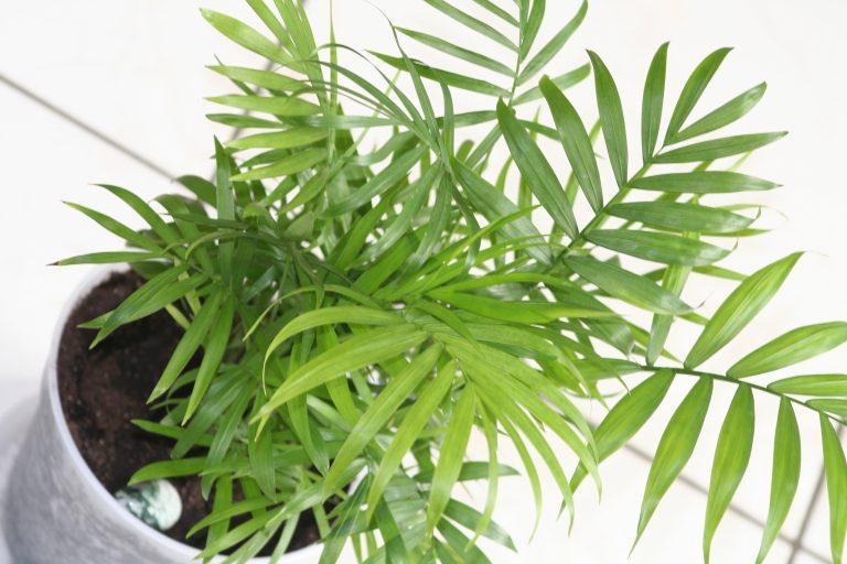 ¿Cómo cuidar las palmeras de interior?