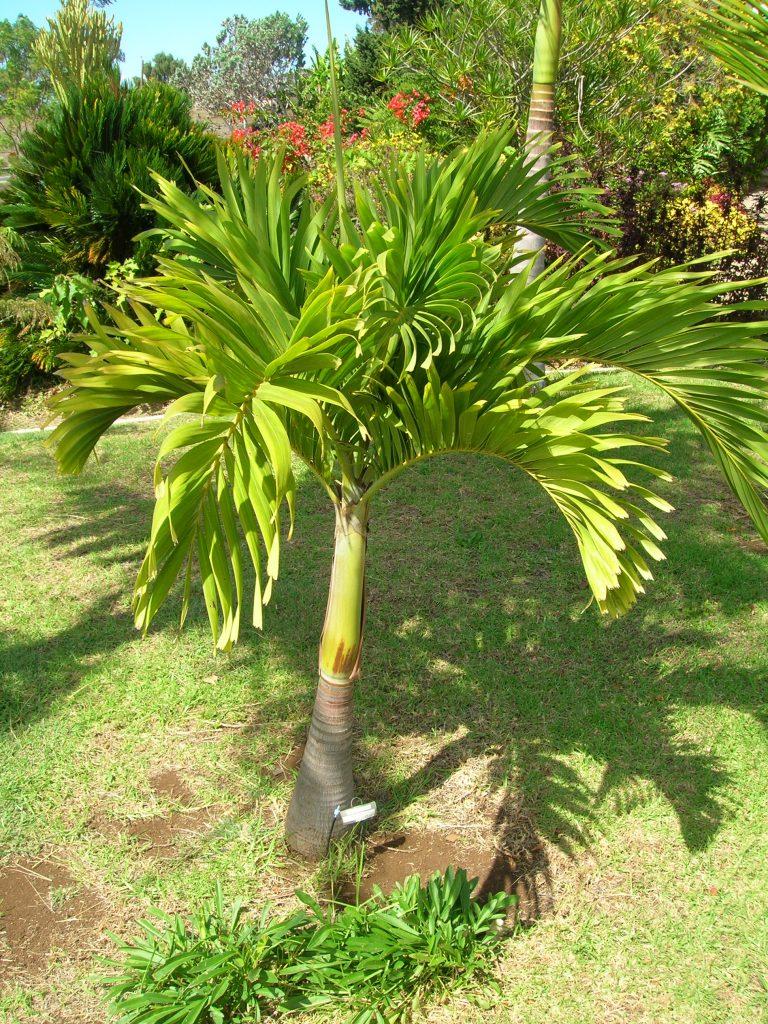 Joven palmera Veitchia merrillii