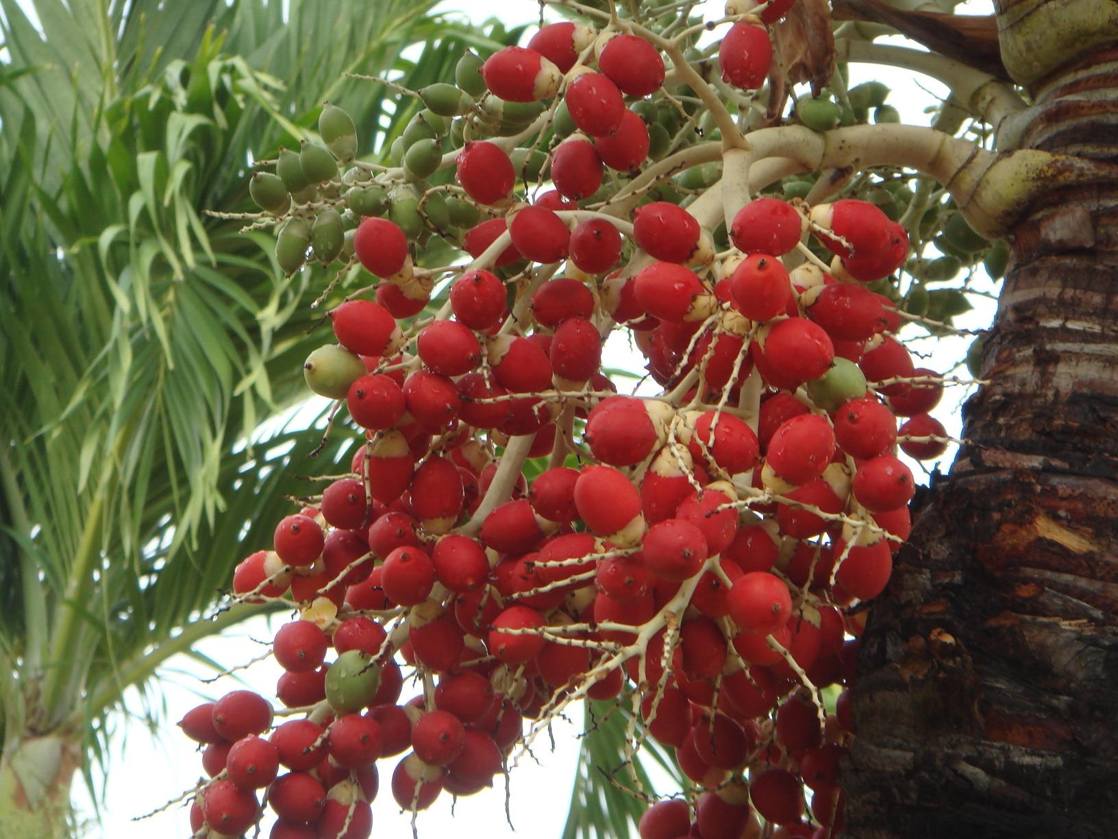 Frutos de la Veitchia merrillii