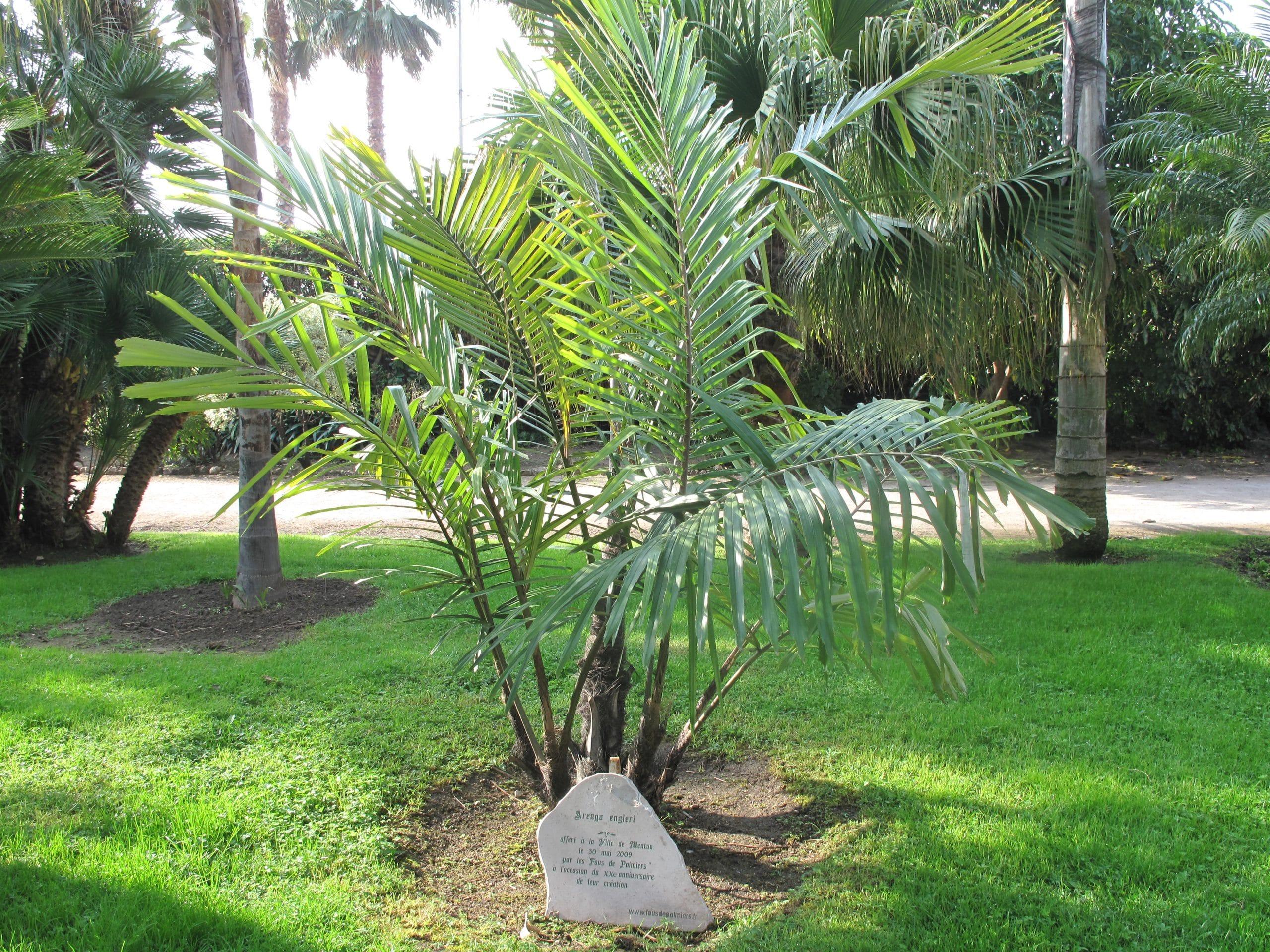 La Arenga engleri es una palmera multicaule