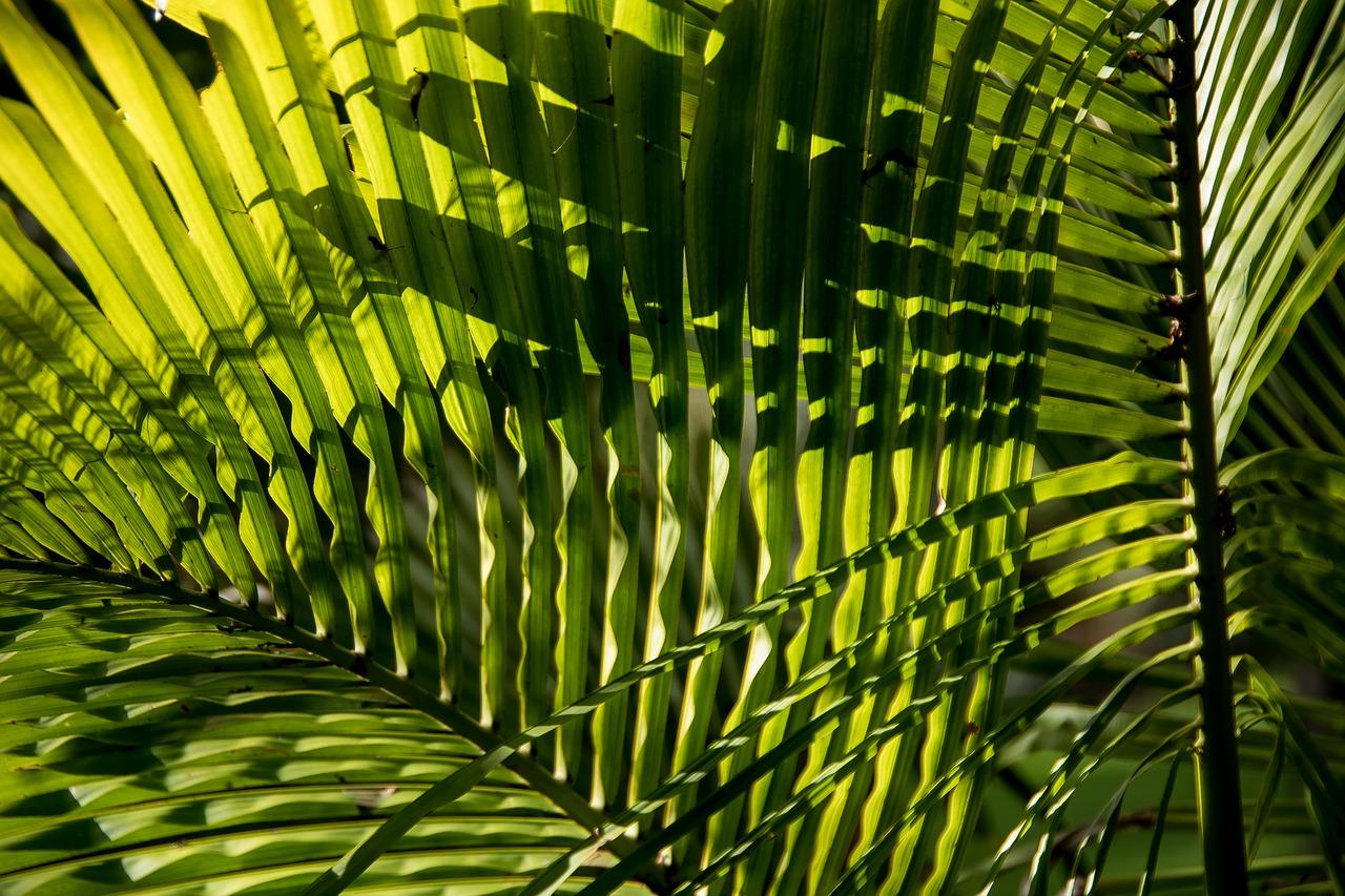 Las hojas de la Archontophoenix cunninghamiana son pinnadas