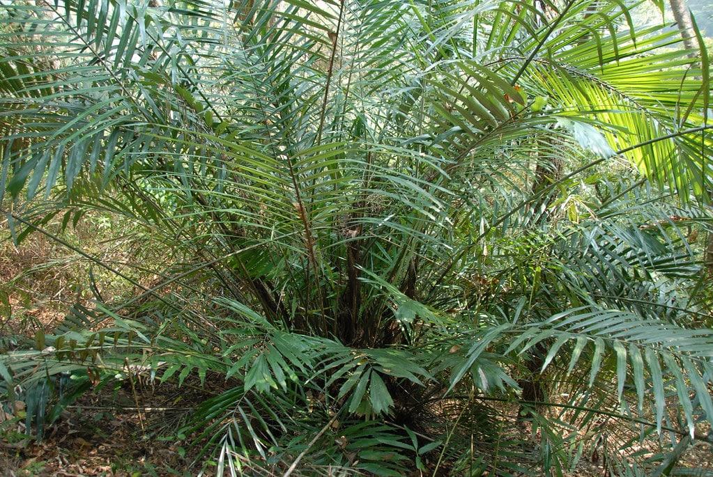La palmera Arenga engleri es multicaule