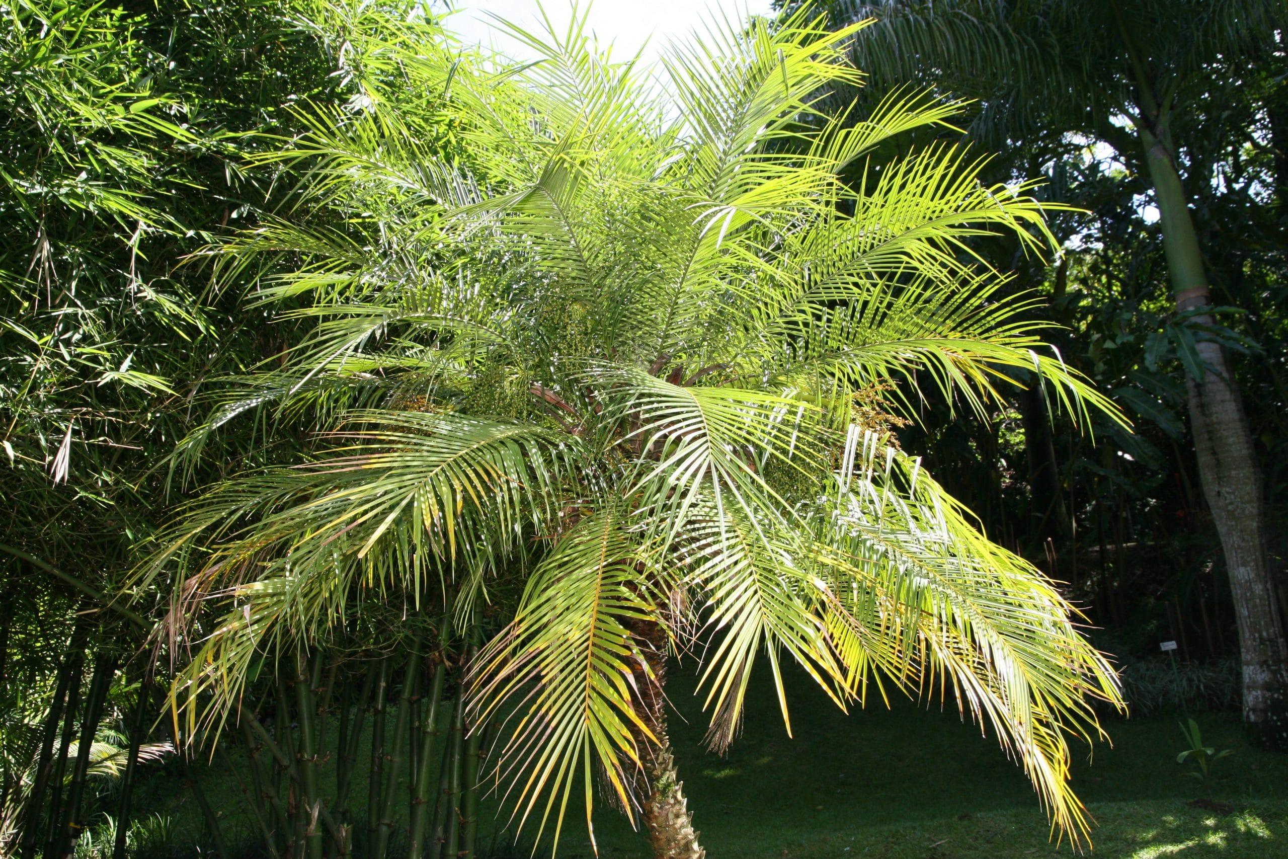 La Phoenix roebelenii es una palmera de pequeño tamaño