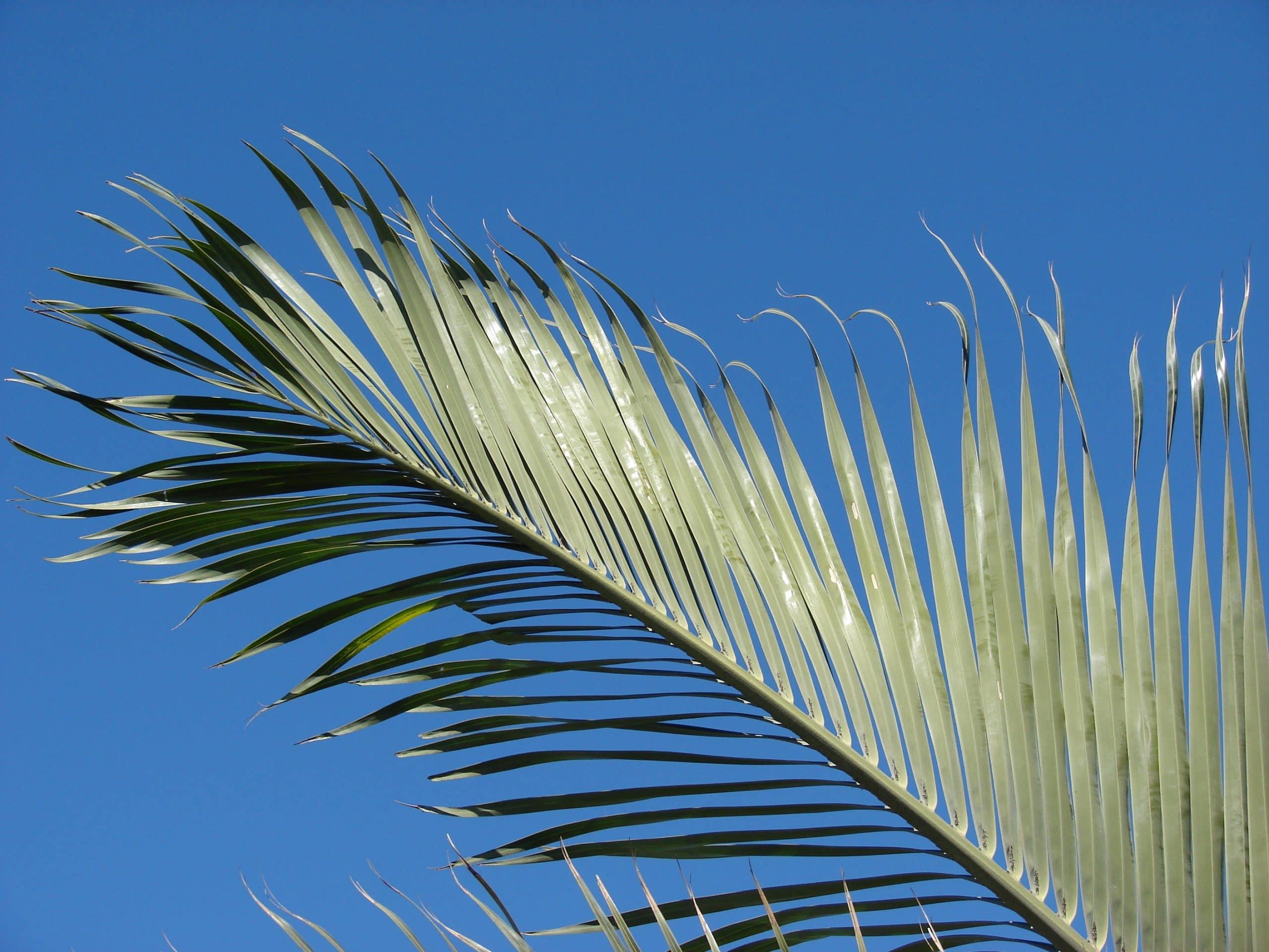La Dypsis decaryi es una palmera unicaule