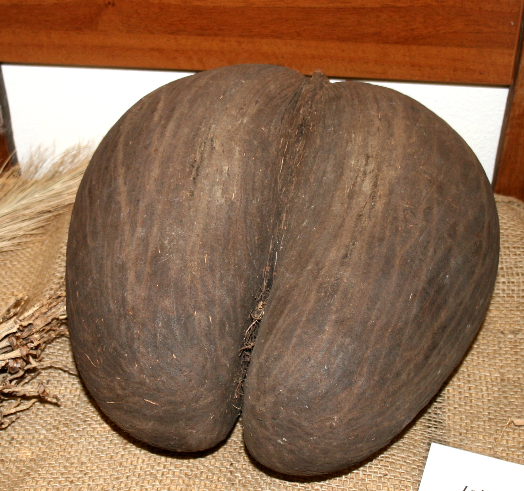 Fruto de la Lodoicea maldivica