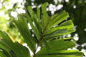 Hoja de la Socratea exorrhiza