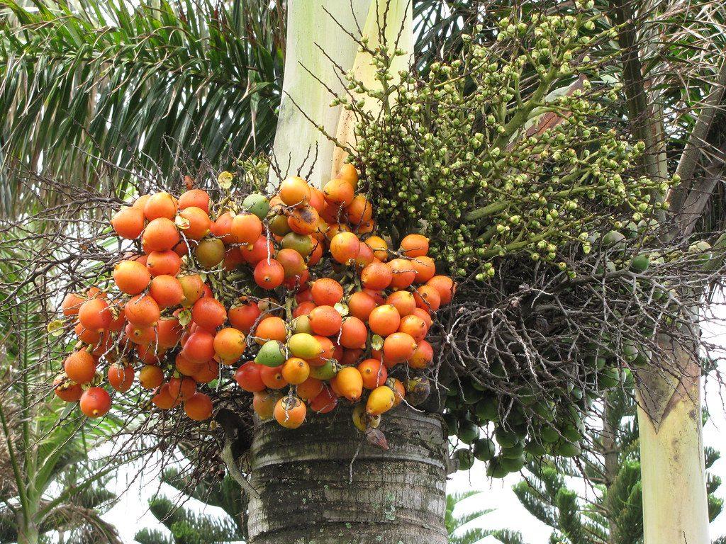 Frutos de Wodyetia bifurcata