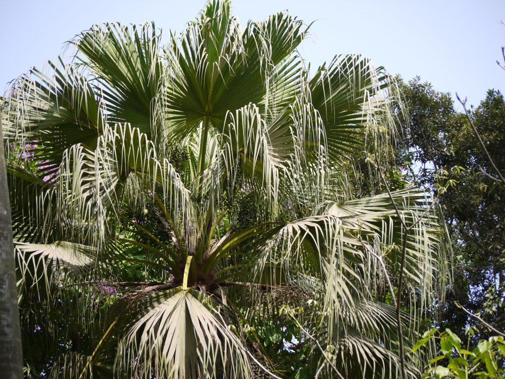 Livistona chinensis en jardín
