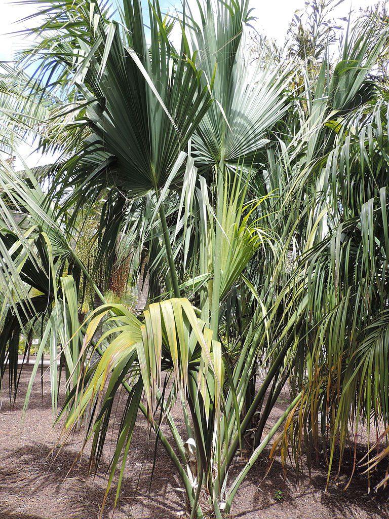 Joven Sabal palmetto