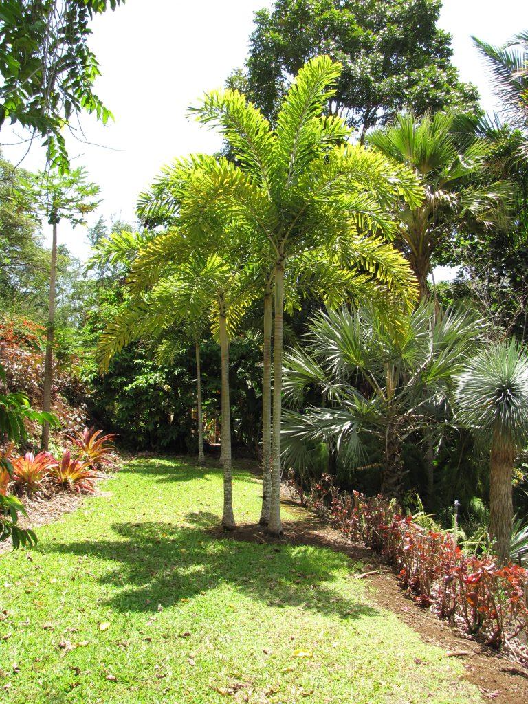 Wodyetia en jardín
