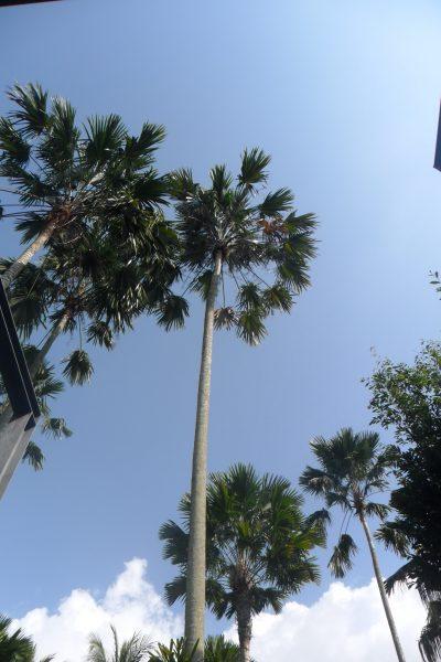 Vista de la Livistona rotundifolia adulta