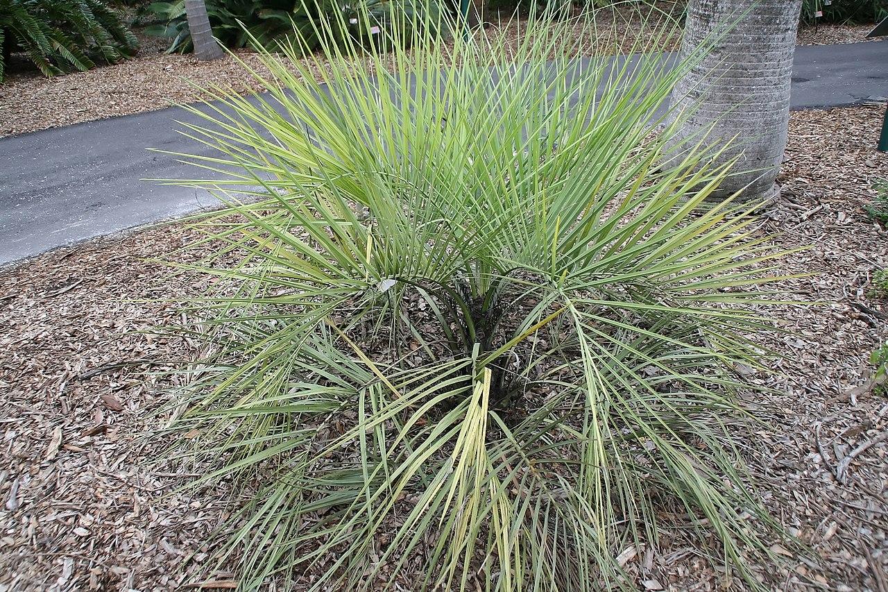 La Butia capitata es una palmera de hojas pinnadas