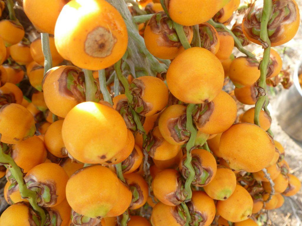 Los frutos de la Butia capitata son comestibles