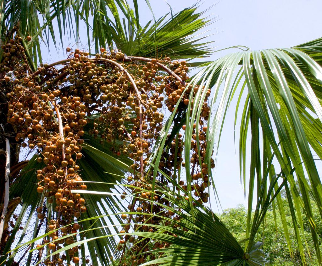 Los frutos de la Livistona rotundifolia son pequeños