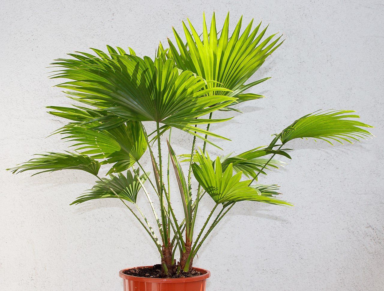 Vista de Livistona rotundifolia joven