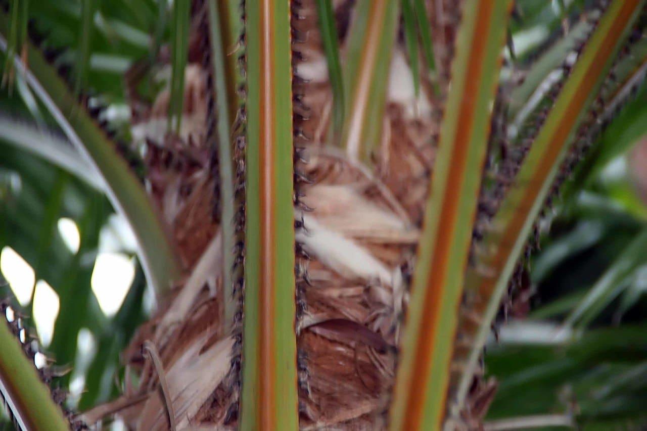 El tronco de la Livistona rotundifolia es delgado