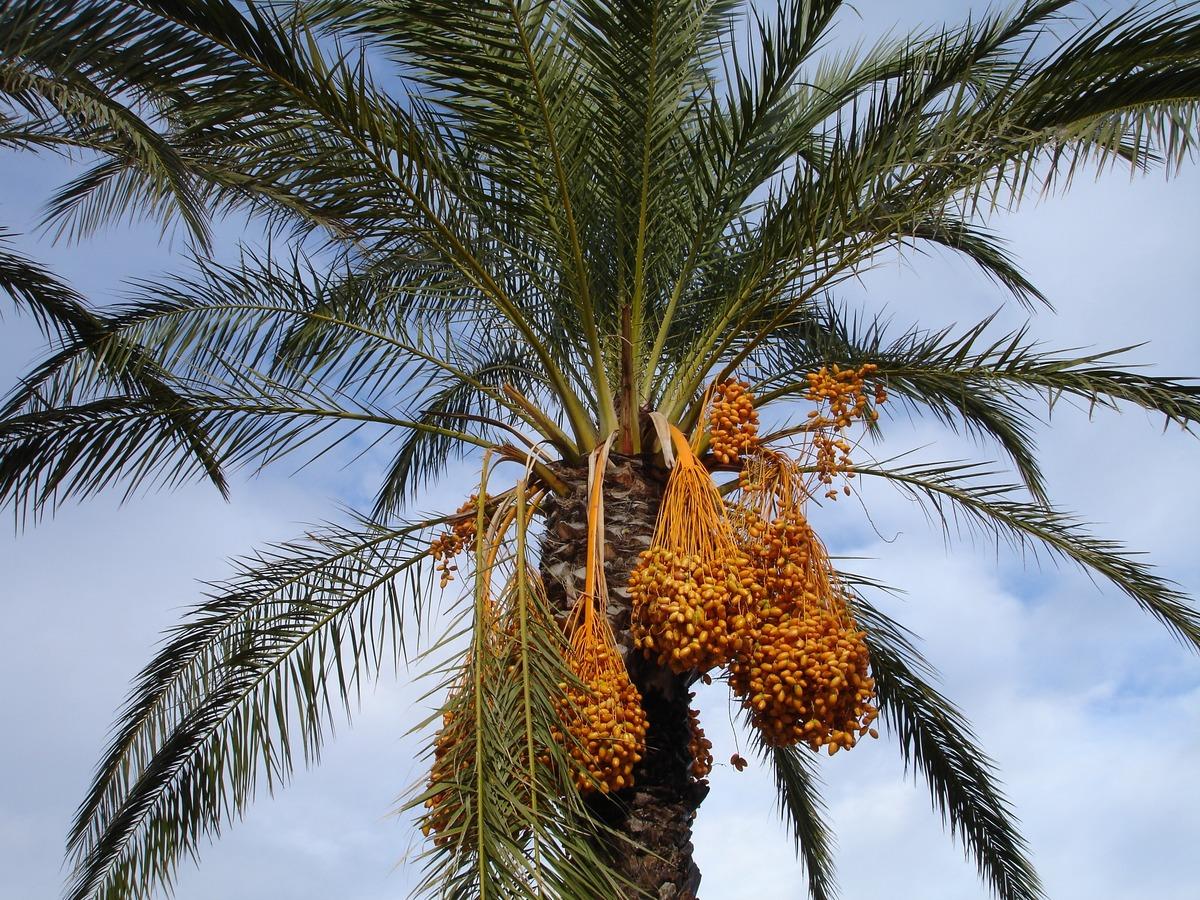 La datilera es una palmera que se cultiva mucho en España