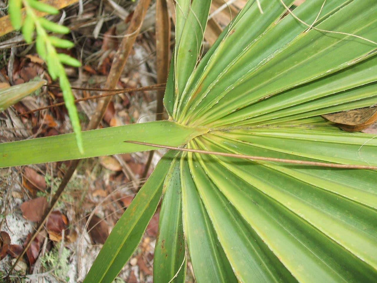 Las hojas del Sabal etonia son costapalmadas